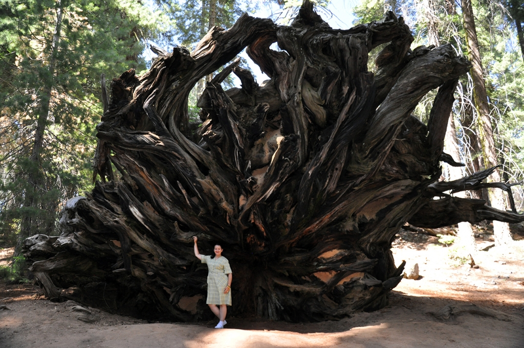 Uprooted sequoia