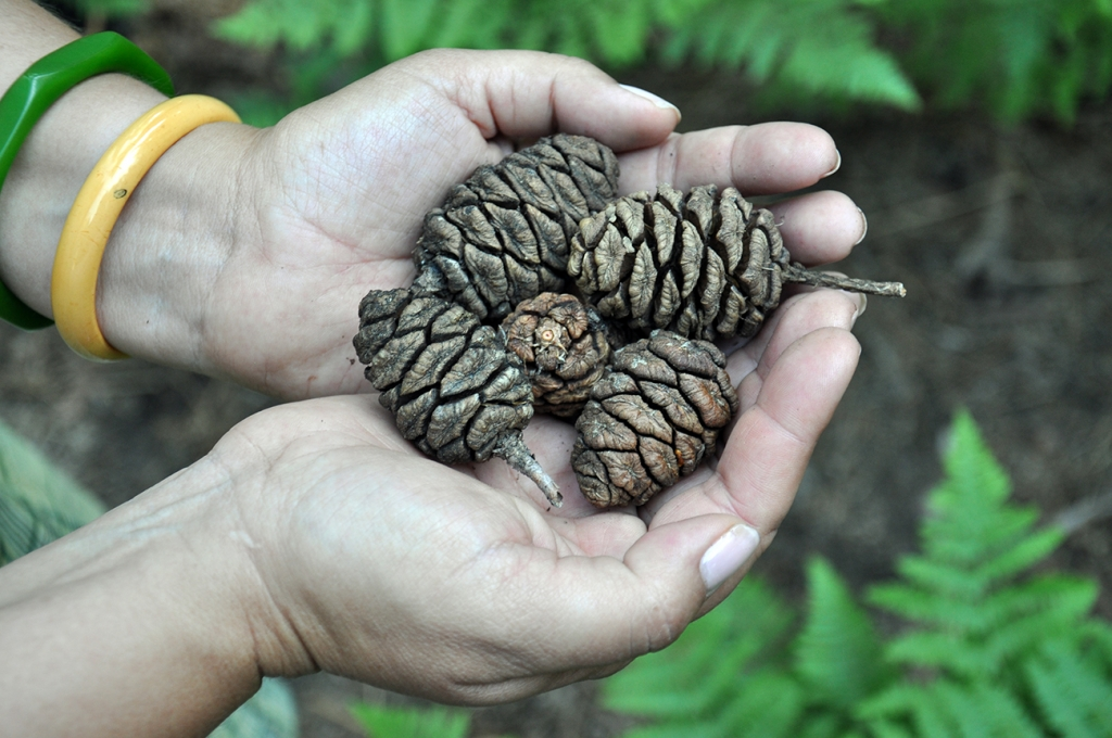 Yosemite sequoia pinecones